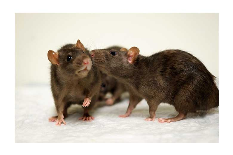 rodent models